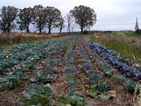 Fall_cabbages