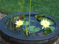 Joey_tomocik_water_lily