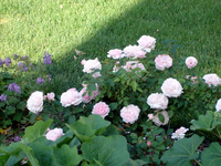 Shrub_rose_redoute